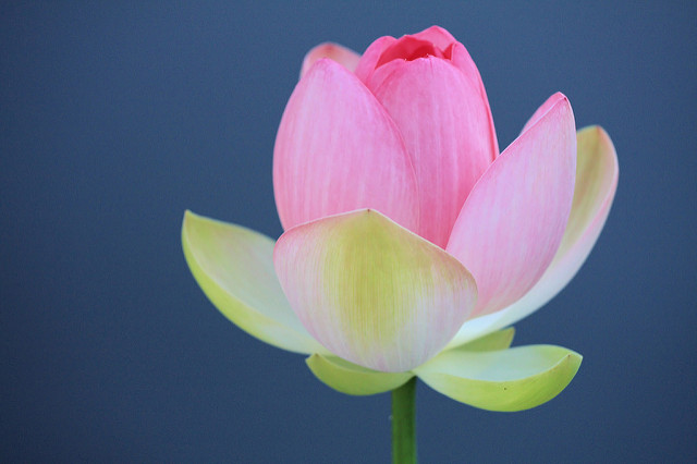 Lotus Bud Opens