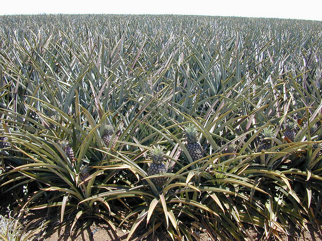 first-crop-pineapple-field
