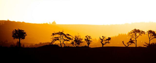 maui-trees-at-sunrise
