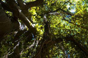 banyan-tree-in-lahaina