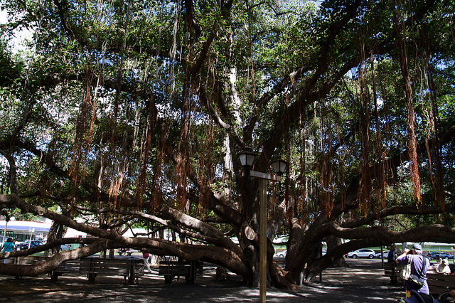 maui-banyan-tree-square
