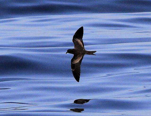 black-storm-petrel
