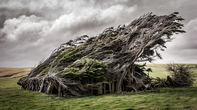 windswept-trees-at-slope-point