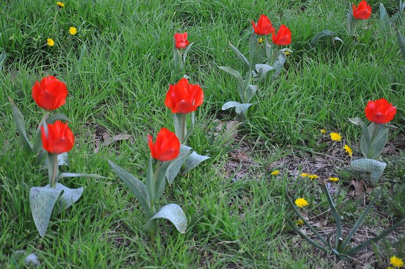 median-strip-tulips