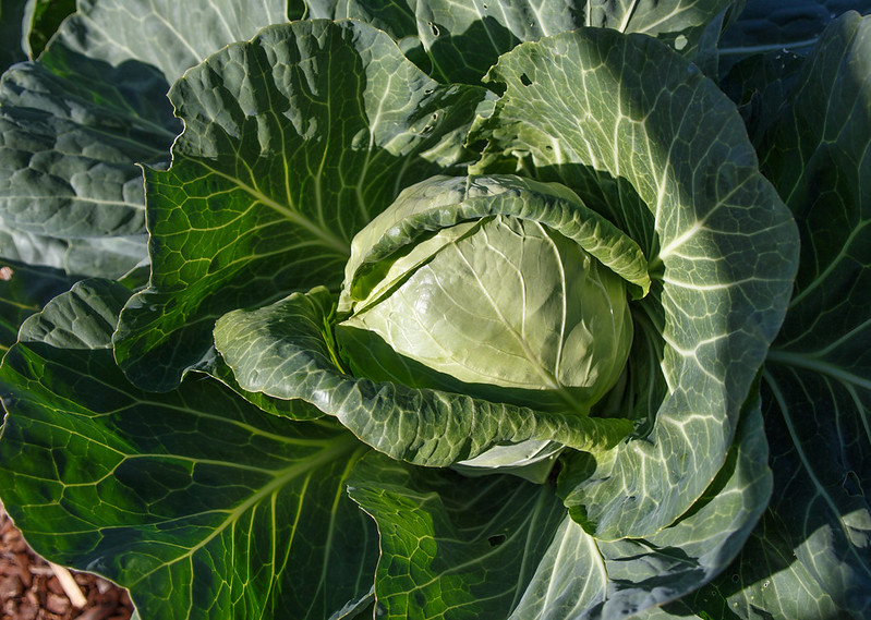 more-cabbages