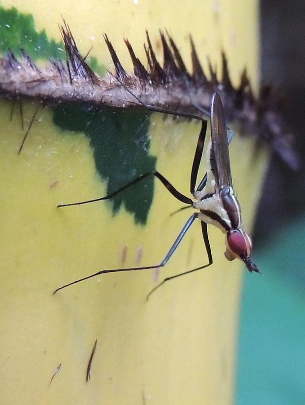 telostylinus-lineolatus