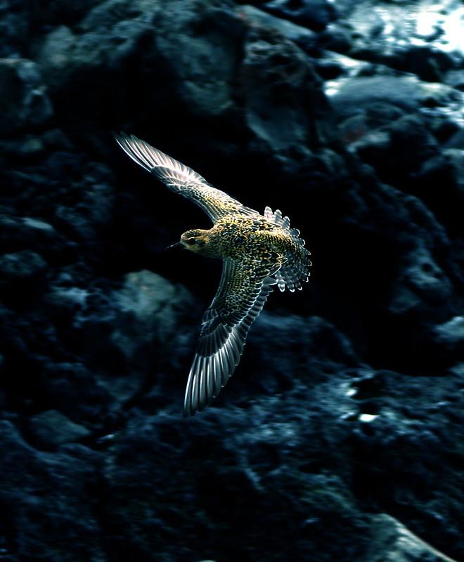 hawaiian-bird