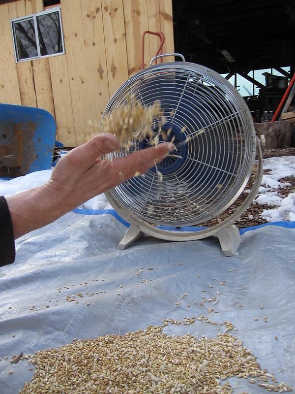 winnowing-barley