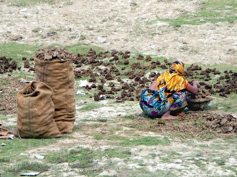 drying-cow-dung