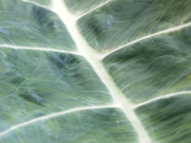 taro-leaf
